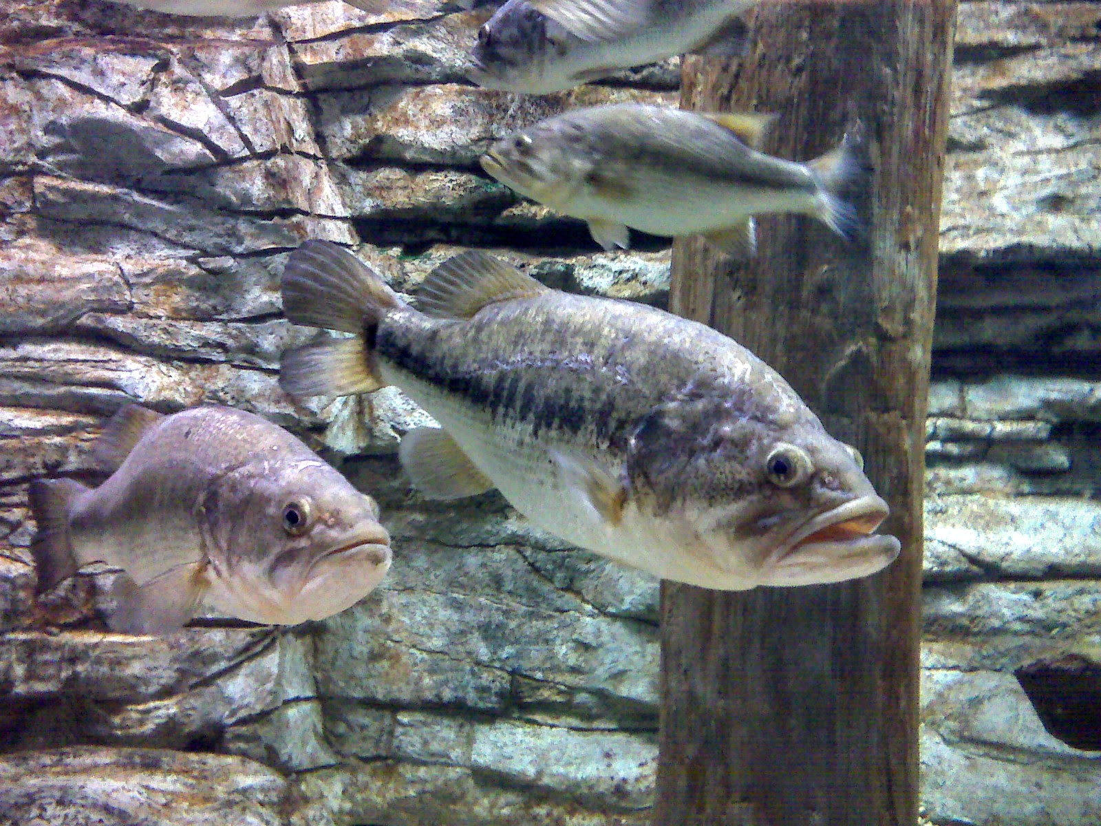 Largemouth bass in close to cover