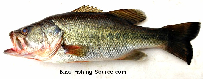 Bass fishing blog for What do fish see