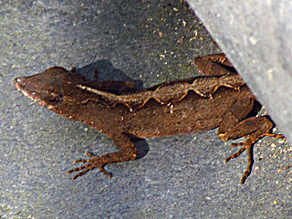 Brown Anole - Photo Courtesy of  Wikipedia